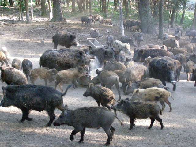Dziki żywią się na polach Rudziewiczów, ale są dodatkowo dokarmiane paszą - full image