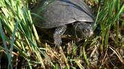 Rezerwat przyrody żółwi błotnych w Orłowie