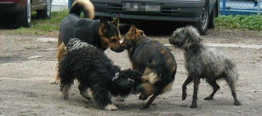 Wygłodniałe psy atakują zwierzęta i ludzi