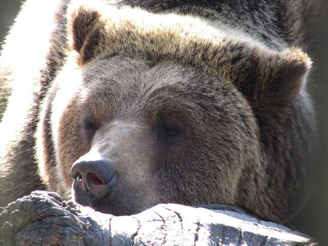 Na razie niedźwiedzie śpią spokojnie, do przeprowadzki mają jeszcze trochę czasu - full image