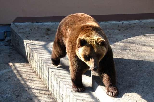 Znowu jest głośno o braniewskich niedźwiedziach - i o złych warunkach, w jakich przebywają - full image