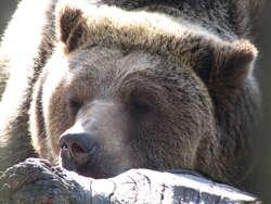 Na razie niedźwiedzie śpią spokojnie, do przeprowadzki mają jeszcze trochę czasu