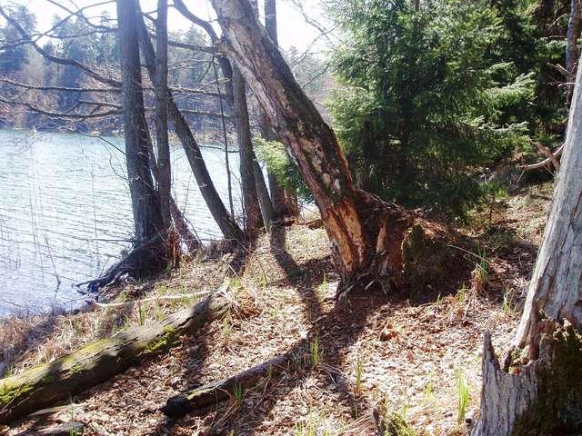 Brzeg jeziora Dłużek z drzewami nadgryzionymi przez bobry - full image