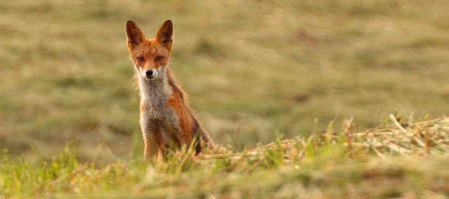 Przynęty zawierające szczepionkę  ukierunkowane będą  wyłącznie na lisy