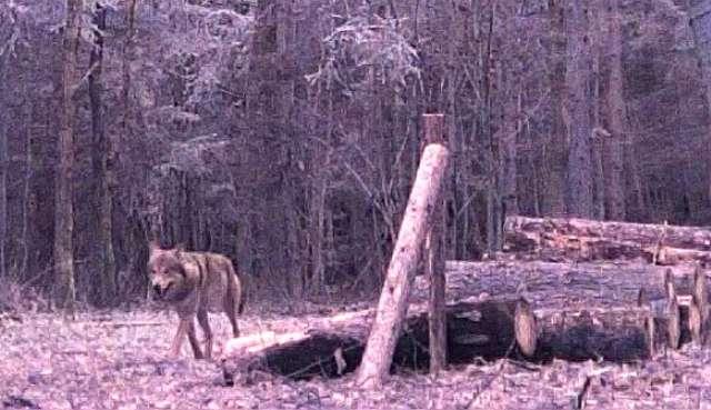 Wilk w kadrze - full image