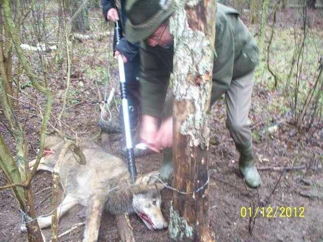 Aby uwolnić wilczycę z wnyków, trzeba ją było najpierw uśpić - full image