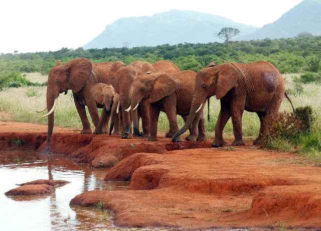 Tylko w Kenii można zobaczyć czerwone słonie - full image