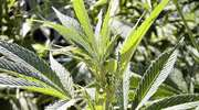 Młody mieszkaniec Działdowa miał woreczek strunowy z marihuaną