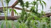 Zatrzymany za uprawę marihuany w ogrodowej szklarni