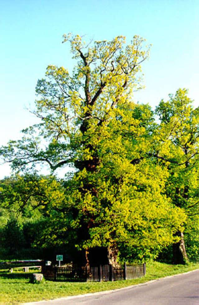 Dąb Bażyńskiego w Kadynach to jedno z największych i najstarszych drzew w Polsce - full image
