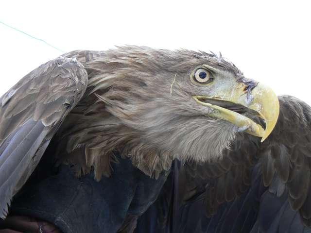 Bielik nie może latać, tylko dlatego nie ucieka z rąk człowieka - full image