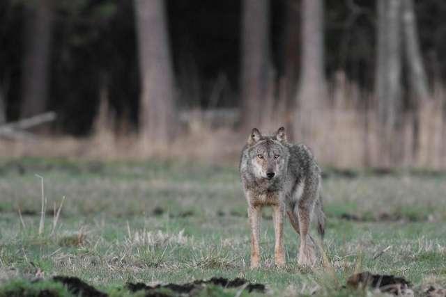 Ogarnia nas paniczny strach. Mieszkańcy boją się ataku wilków - full image