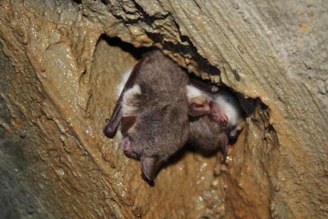 Nietoperze spędzają zimę, śpiąc w pozycji wiszącej do góry nogami - full image