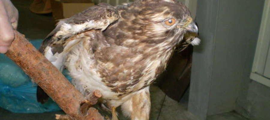Myszołów: W Polsce średnio liczny ptak lęgowy, stosunkowo najbardziej rozpowszechniony spośród wszystkich ptaków drapieżnych, jednak lokalnie bywa nieliczny. Gniazda może mieć u nas 40 000 par. Można go spotkać w całym kraju, również na wyżynach i w górac