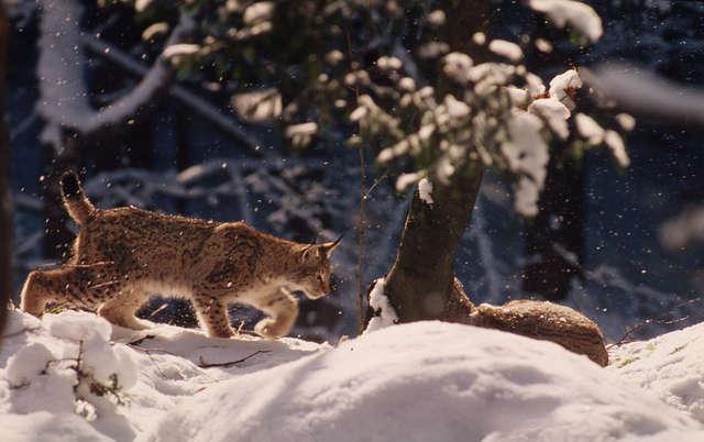 Rysie można policzyć dzięki ich tropom na śniegu - full image