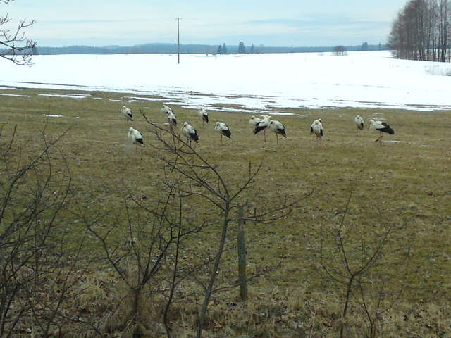 Bociany z Lidzbarka Warmińskiego czekają na wiosnę - full image
