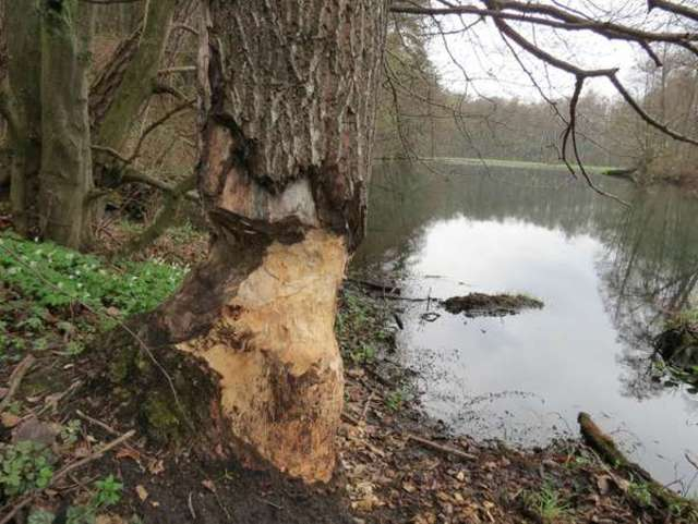 To drzewo też zostało mocno podgryzione przez bobry, ale jeszcze stoi - full image