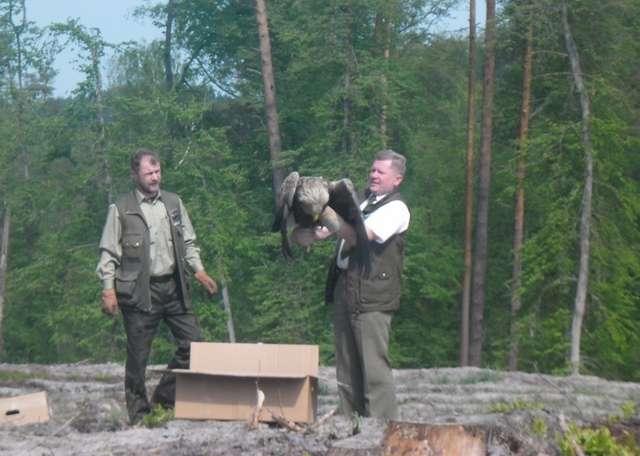 Paweł Bednarczyk (z lewej) i Wojciech Abramczyk wypuszczają bielika na wolność.  - full image