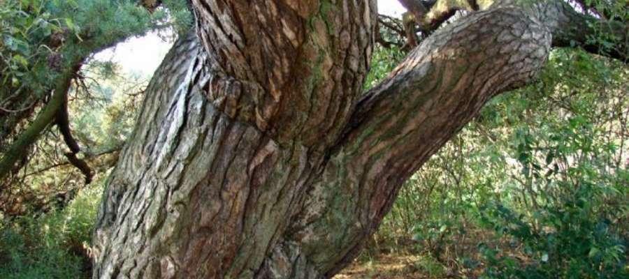 """Stara sosna może zostać """"Drzewem Roku"""""""