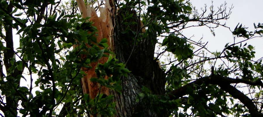 Drzewo przy drodze wojewódzkiej nr 538