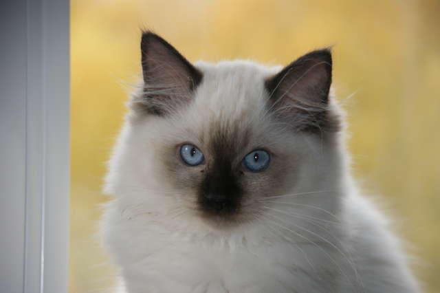 Zaginęła kotka z czekoladowymi plamkami - full image