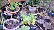 Ogródek z konopiami zainteresował policjantów