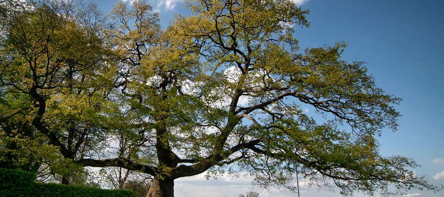 Dąb Wybickiego otrzymał tytuł Drzewa Roku 2013