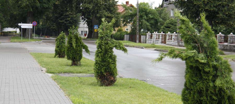 Zniszczone tuje przy ul. Wojska Polskiego