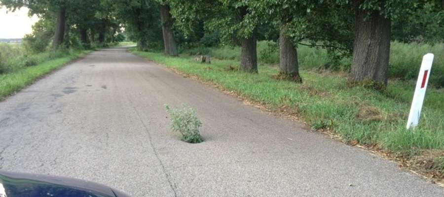 """— Zobaczcie jaki """"pomniczek przyrody"""" można zobaczyć jadąc drogą z Rogu do Wichrowca — pisze internauta"""