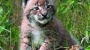 Dzikie koty wracają do mazurskich lasów