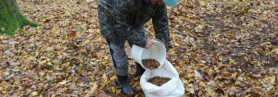 Zbieranie żołędzi