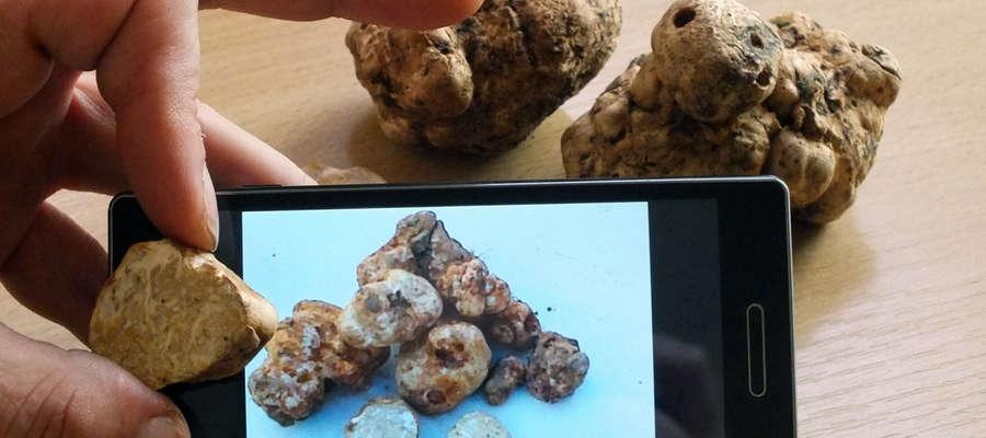Marcin Procajło porównywał znalezione przez siebie grzyby ze zdjęciami trufli białych w internecie wystawionych na sprzedaż w Polsce