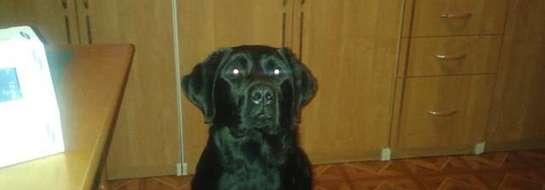 Labrador czeka na właściciela.