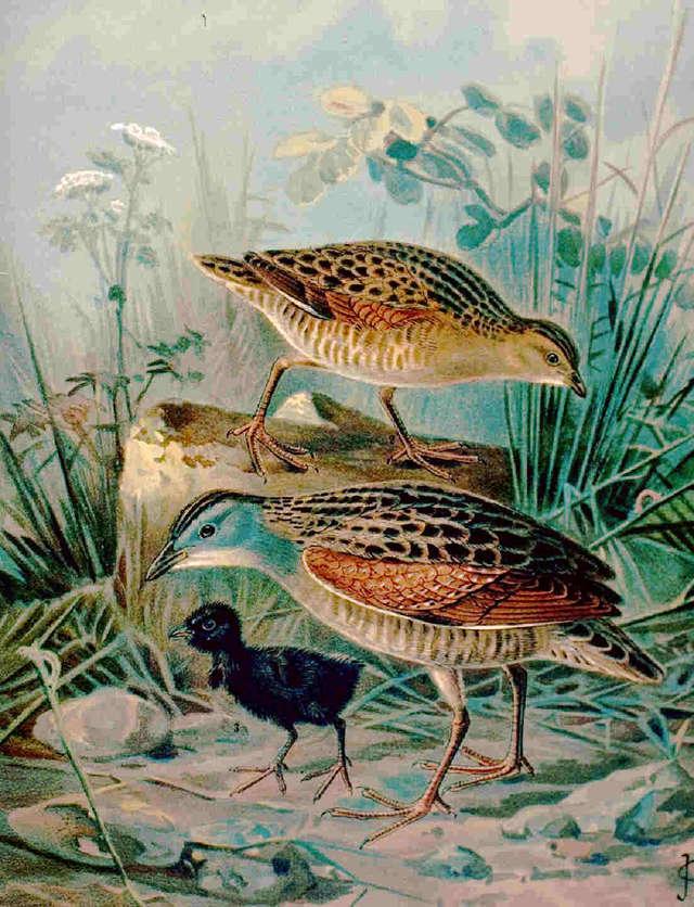 Derkacz - ptak lęgowy, występujący na terenie rezerwatu - full image