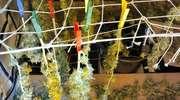 Marihuanę suszył na sznurkach do prania. Przerwali mu policjanci