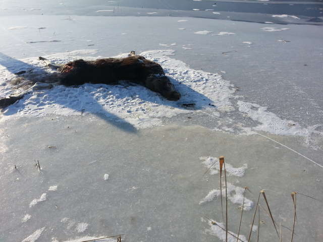 Martwe łosie (na zdjęciu tylko klępa) leżały na zamarzniętym jeziorze przez dwa tygodnie - full image