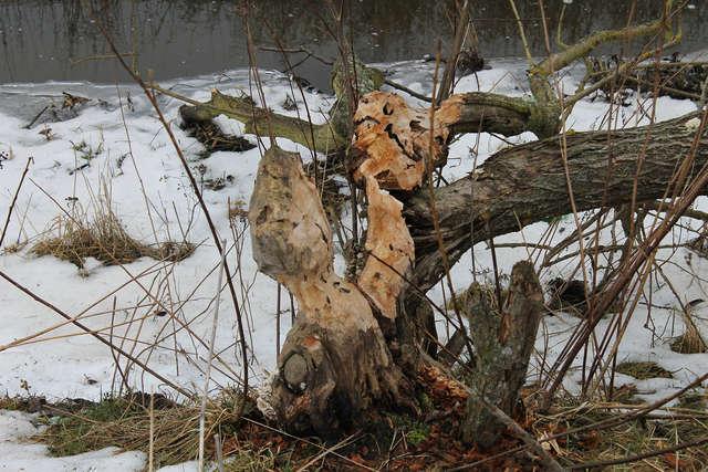 Bobry nie pozostawiły na brzegach rzeczki w Bisztynku żadnego nie nadgryzionego drzewa. - full image