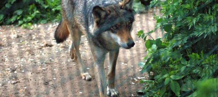 Wilki są pod całkowitą ochroną gatunkową. Ich stada (watahy) potrafią liczyć nawet 20 osobników, choć zazwyczaj są mniejsze