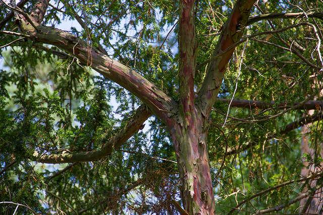 Jeden z cisów rosnących na terenie Nadleśnictwa Wipsowo - full image