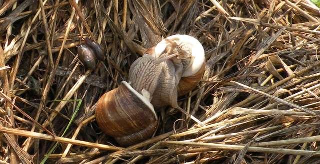 Ślimaki winniczki w miłosnym uścisku, obok widoczne znacznie mniejsze ślimaki bursztynki - full image