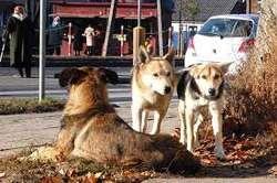 Ponad 100 ts. zł przeznaczy miasto na odławianie bezpańskich psów