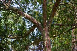 Jeden z cisów rosnących na terenie Nadleśnictwa Wipsowo