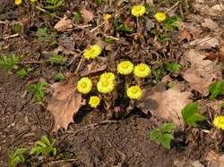 Kłobuk jako zwiastun wiosny