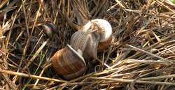 Ślimaki winniczki w miłosnym uścisku, obok widoczne znacznie mniejsze ślimaki bursztynki