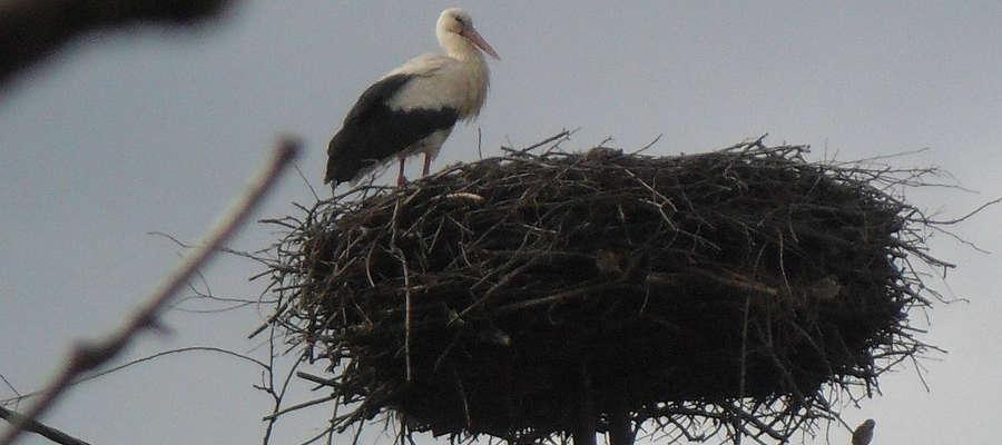 Pierwszy bocian przybyły na teren powiatu bartoszyckiego jakiego sfotografowano wiosną 2014 r. w Paluzach.