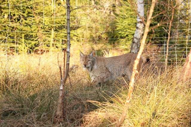 Ryś z Estonii, wypuszczony w lasach Nadleśnictwa Spychowo - full image