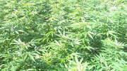 10 gramów marihuany w kieszeni, 15 krzaków w ogródku