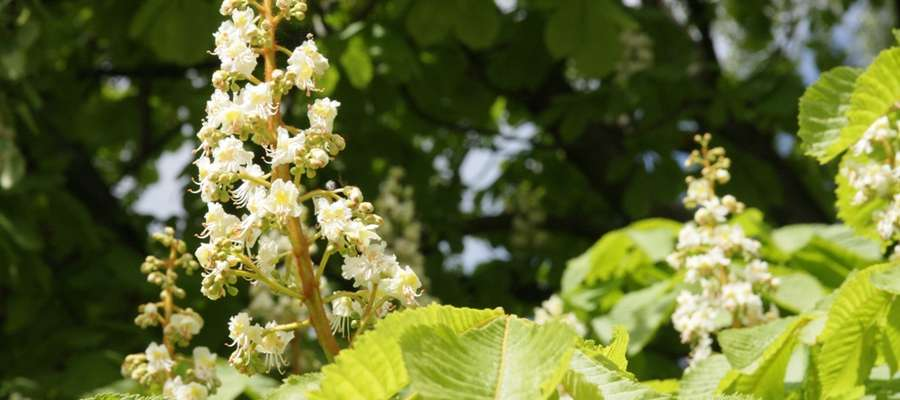 Kwitnące kasztanowce oznaczają rozpoczęcie egzaminów dojrzałości.