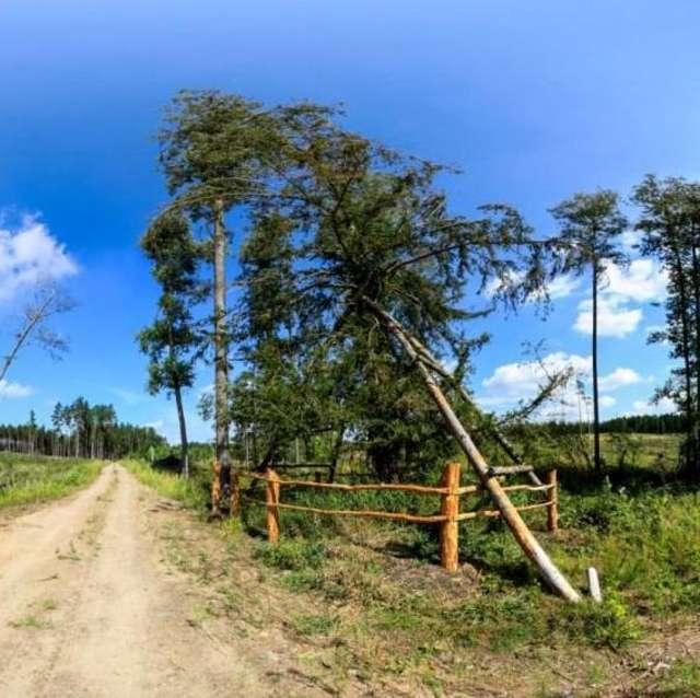Po akcji ratunkowej cis podtrzymywany był przez specjalne rusztowanie. Zdjęcie wykonano latem 2011 roku - full image