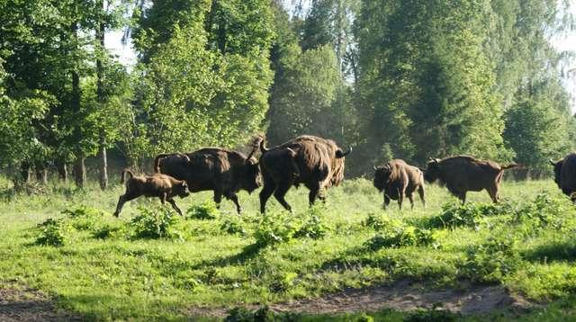 Puszcza Borecka – Zagroda Żubrów w Wolisku - full image